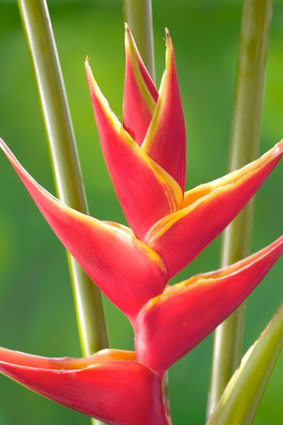 Richmond Red Heliconia Image