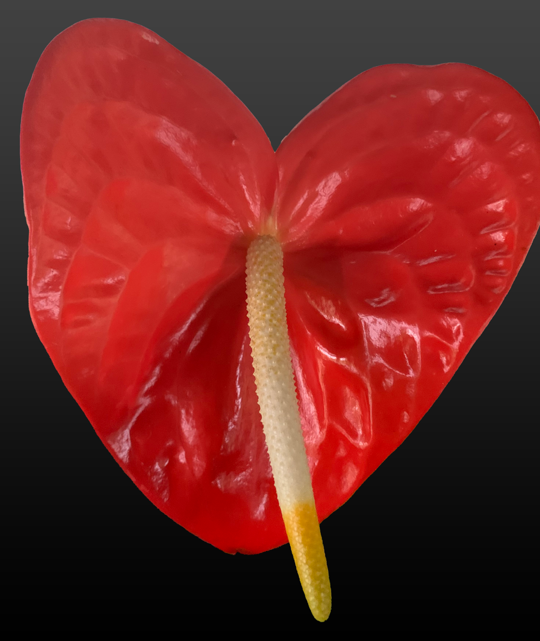 Mickey Mouse Red Anthurium