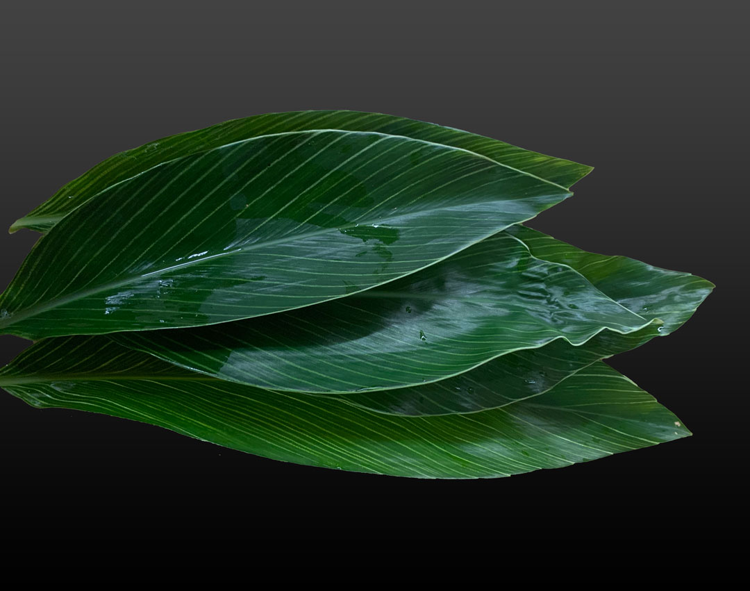 Shell Ginger Leaf Two
